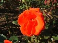 2014-09-21薔薇-143