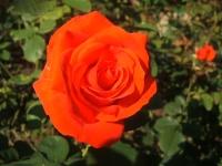2014-09-21薔薇-142