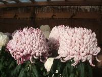 中尊寺リハビリの菊祭り&紅葉2014-11-10-069
