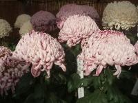中尊寺リハビリの菊祭り&紅葉2014-11-10-068