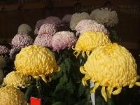 中尊寺リハビリの菊祭り&紅葉2014-11-10-067
