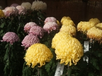 中尊寺リハビリの菊祭り&紅葉2014-11-10-065