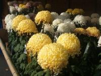 中尊寺リハビリの菊祭り&紅葉2014-11-10-071