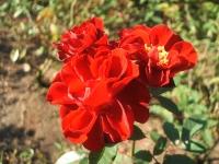 2014-09-21薔薇-151