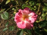 2014-09-21薔薇-152