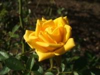 2014-09-21薔薇-150