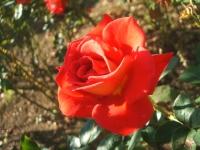 2014-09-21薔薇-160