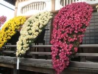 中尊寺リハビリの菊祭り&紅葉2014-11-10-086