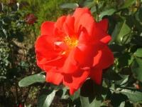 2014-09-21薔薇-161