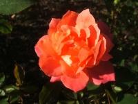 2014-09-21薔薇-172