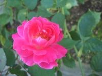 2014-09-21薔薇-169