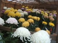 中尊寺リハビリの菊祭り&紅葉2014-11-10-093