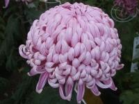 中尊寺リハビリの菊祭り&紅葉2014-11-10-089
