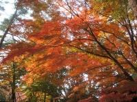 中尊寺リハビリの菊祭り&紅葉2014-11-10-105