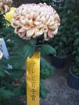 中尊寺リハビリの菊祭り&紅葉2014-11-10-096