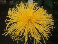 中尊寺リハビリの菊祭り&紅葉2014-11-10-095