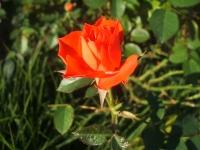 2014-09-21薔薇-179