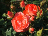 2014-09-21薔薇-177