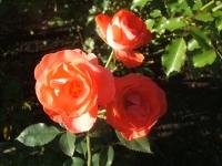 2014-09-21薔薇-174