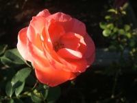 2014-09-21薔薇-175
