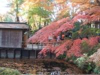 中尊寺リハビリの菊祭り&紅葉2014-11-10-104
