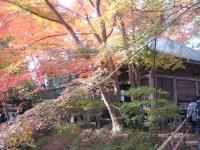 中尊寺リハビリの菊祭り&紅葉2014-11-10-103