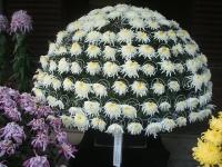 中尊寺リハビリの菊祭り&紅葉2014-11-10-101