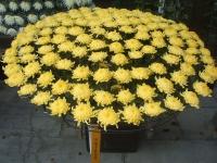 中尊寺リハビリの菊祭り&紅葉2014-11-10-100