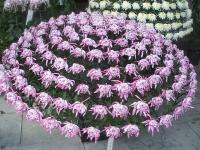 中尊寺リハビリの菊祭り&紅葉2014-11-10-099