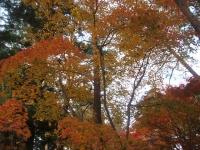 中尊寺リハビリの菊祭り&紅葉2014-11-10-109