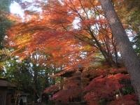 中尊寺リハビリの菊祭り&紅葉2014-11-10-108