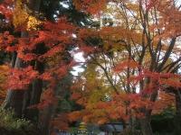 中尊寺リハビリの菊祭り&紅葉2014-11-10-123