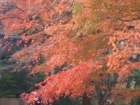 中尊寺リハビリの菊祭り&紅葉2014-11-10-129