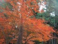 中尊寺リハビリの菊祭り&紅葉2014-11-10-128