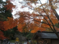 中尊寺リハビリの菊祭り&紅葉2014-11-10-126
