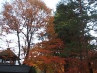 中尊寺リハビリの菊祭り&紅葉2014-11-10-132