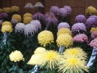 中尊寺リハビリの菊祭り&紅葉2014-11-10-141