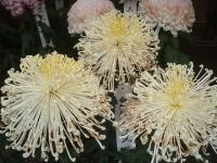 中尊寺リハビリの菊祭り&紅葉2014-11-10-146