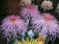 中尊寺リハビリの菊祭り&紅葉2014-11-10-145