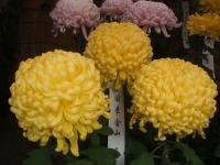 中尊寺リハビリの菊祭り&紅葉2014-11-10-144