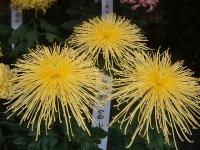 中尊寺リハビリの菊祭り&紅葉2014-11-10-143