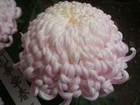 中尊寺リハビリの菊祭り&紅葉2014-11-10-149