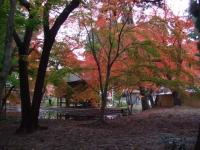 中尊寺リハビリの菊祭り&紅葉2014-11-10-173