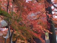 中尊寺リハビリの菊祭り&紅葉2014-11-10-177
