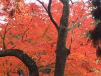 中尊寺リハビリの菊祭り&紅葉2014-11-10-176