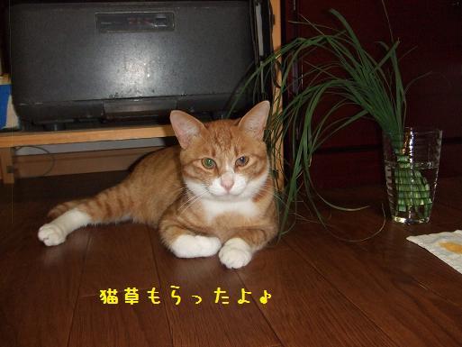 みぃ太猫草