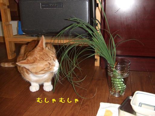 みぃ太猫草2
