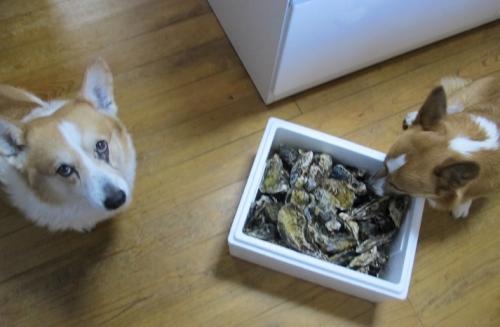 牡蠣とコギ