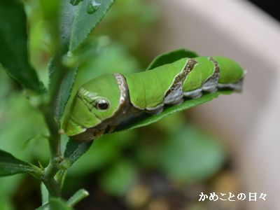 DSC_0001-aomushi.jpg