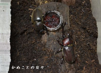 DSC_0349-kabu.jpg
